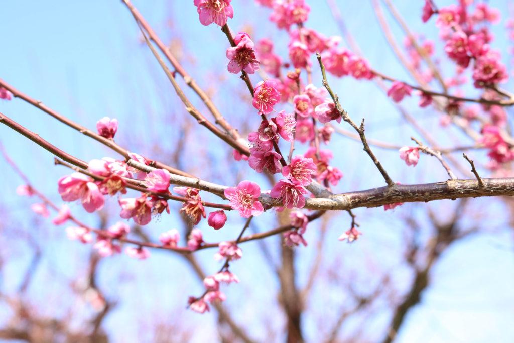 高知城の「梅の段」