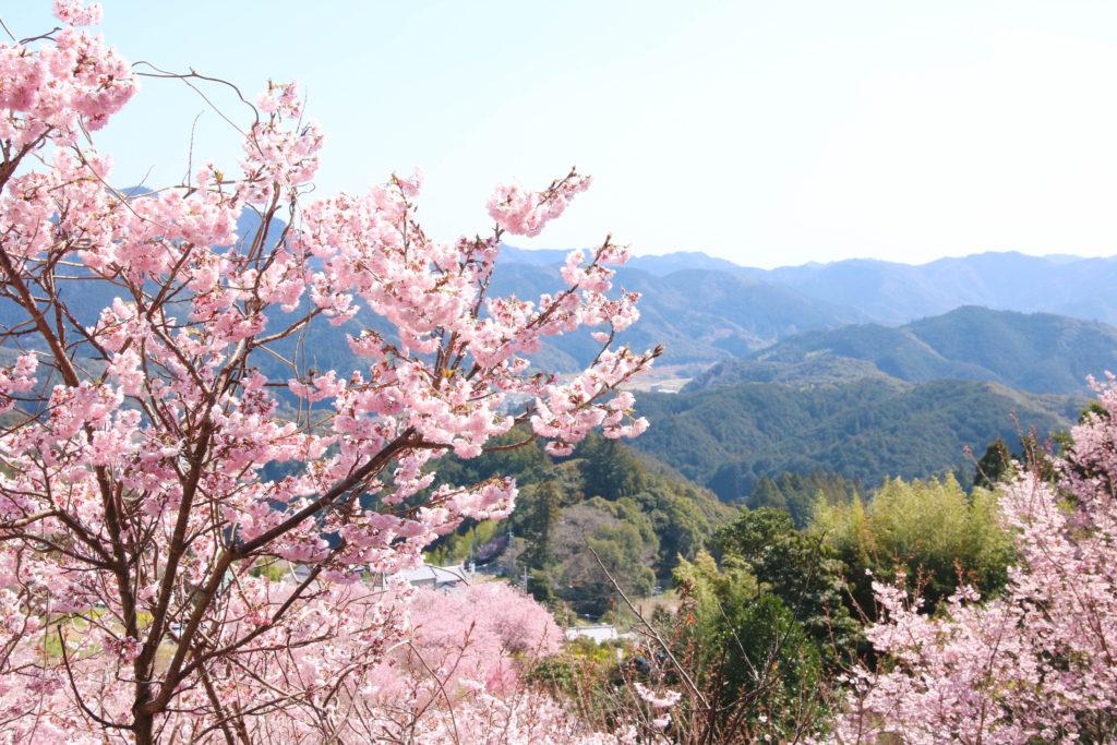 そうだ山の「雪割り桜」