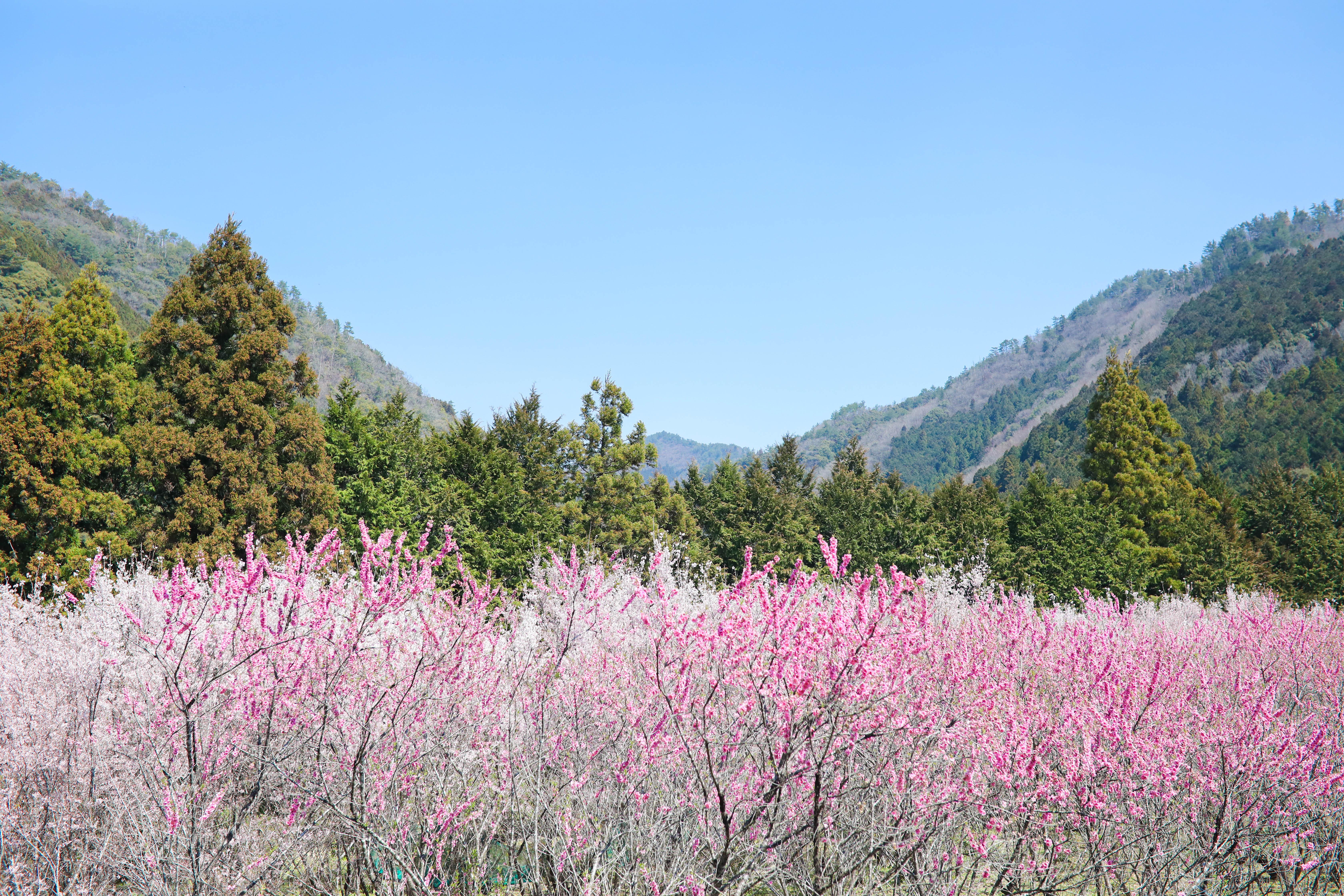 桜と桃の名所!四万十町(高知)の桃源郷