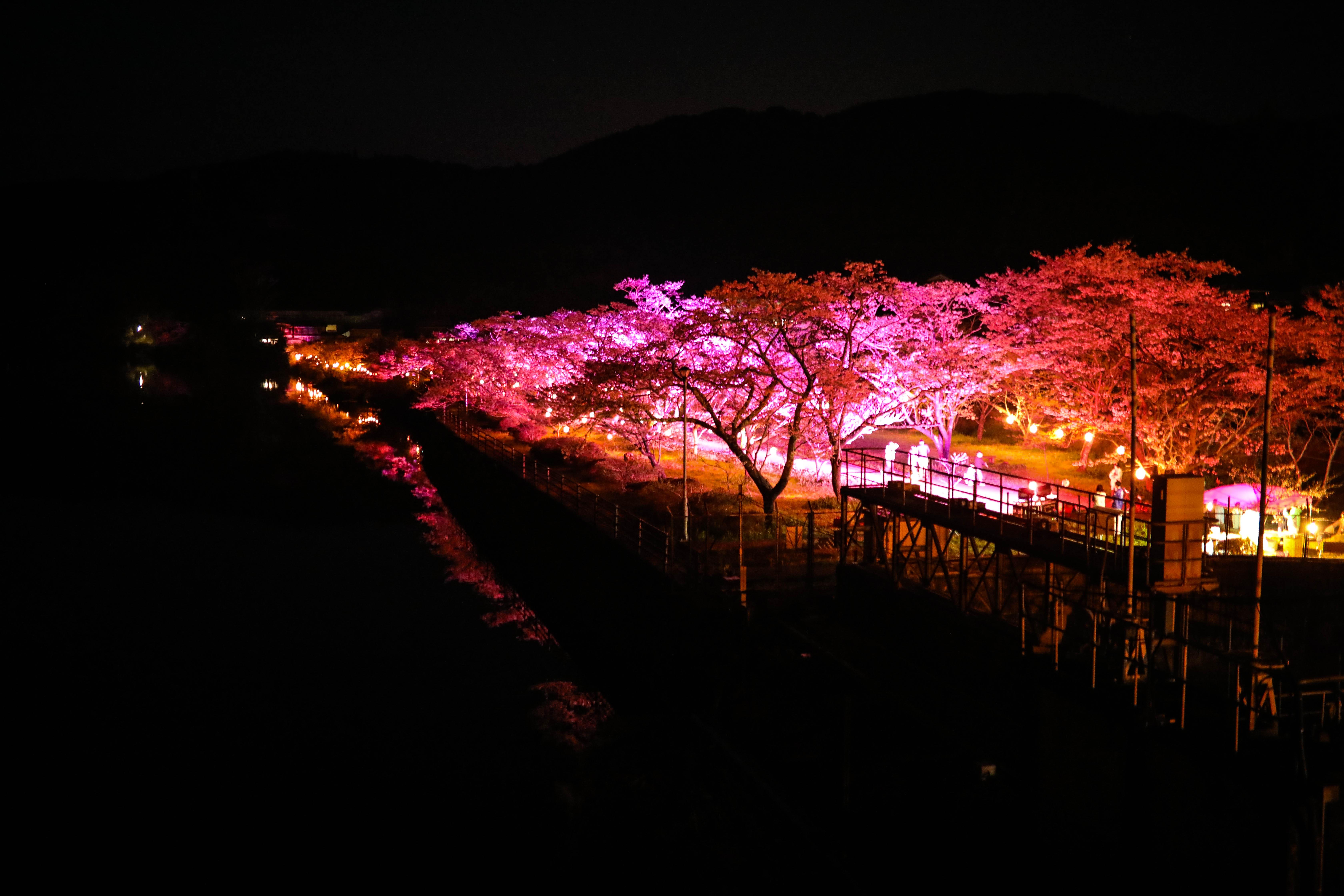 家地川公園|四万十町・夜桜ライトアップ