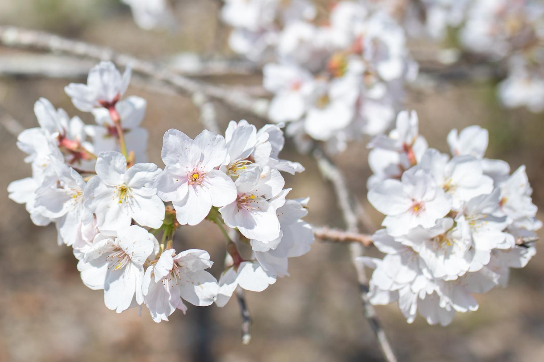 野市(のいち)あじさい街道|知る人ぞ知る隠れた桜の名所