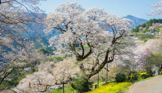 ひょうたん桜公園(仁淀川町)|わざわざ行く価値あり!仁淀川上流の桜の名所