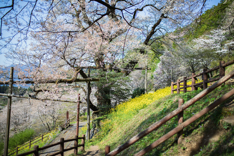 ひょうたん桜公園(仁淀川町)|わざわざ行く価値あり!山々に囲まれた桜の名所