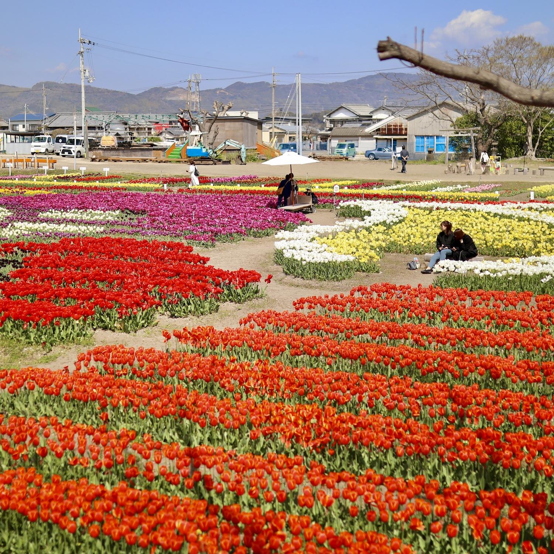 かがみ花フェスタ 高知最大級のチューリップ祭り