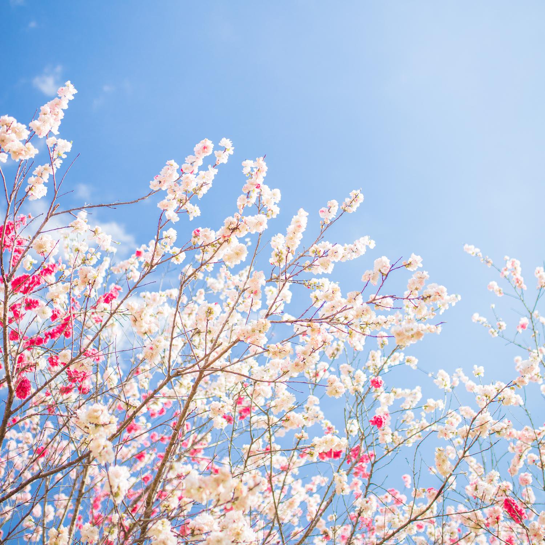 西川花公園|香南市の春の花見イベント「西川花祭り」