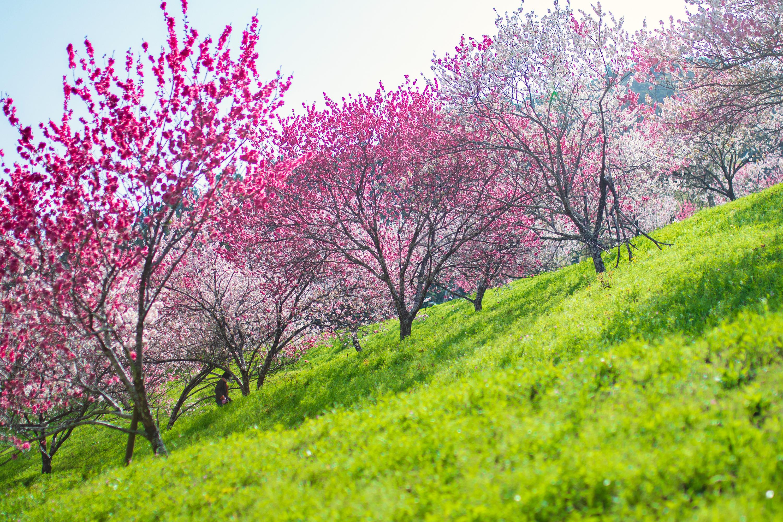 引地橋の花桃(仁淀川町)|春しか見れない!花桃と新緑の絶景スポット