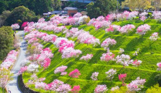 引地橋の花桃(仁淀川町)|春にしか見られない!新緑と花桃の絶景スポット