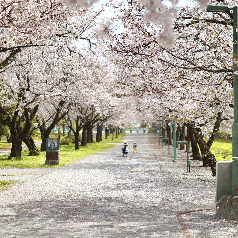 鏡野公園(香美市)|春は必ず訪れたい!高知有数の桜の名所